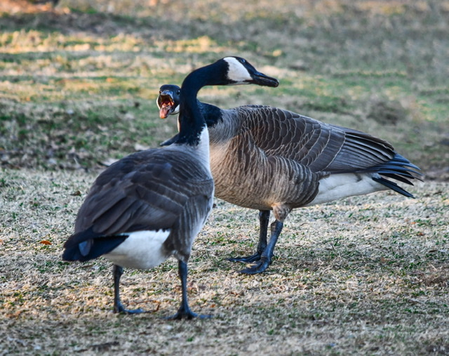 Canadian geese arguing