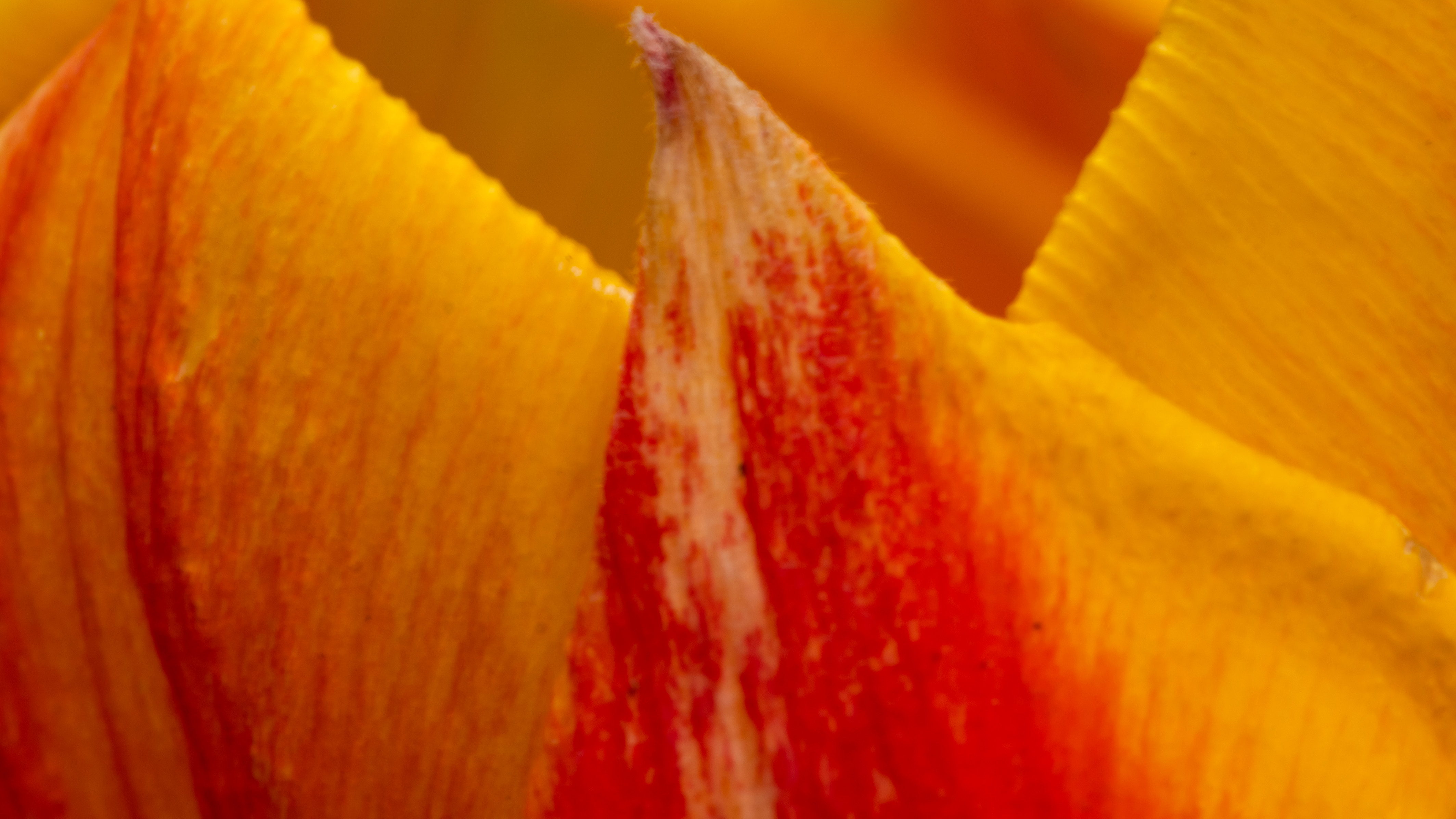 Morning tulip close up. Took advise from JG on shark tank. Tried to make an abstract but really liked the tulip points.