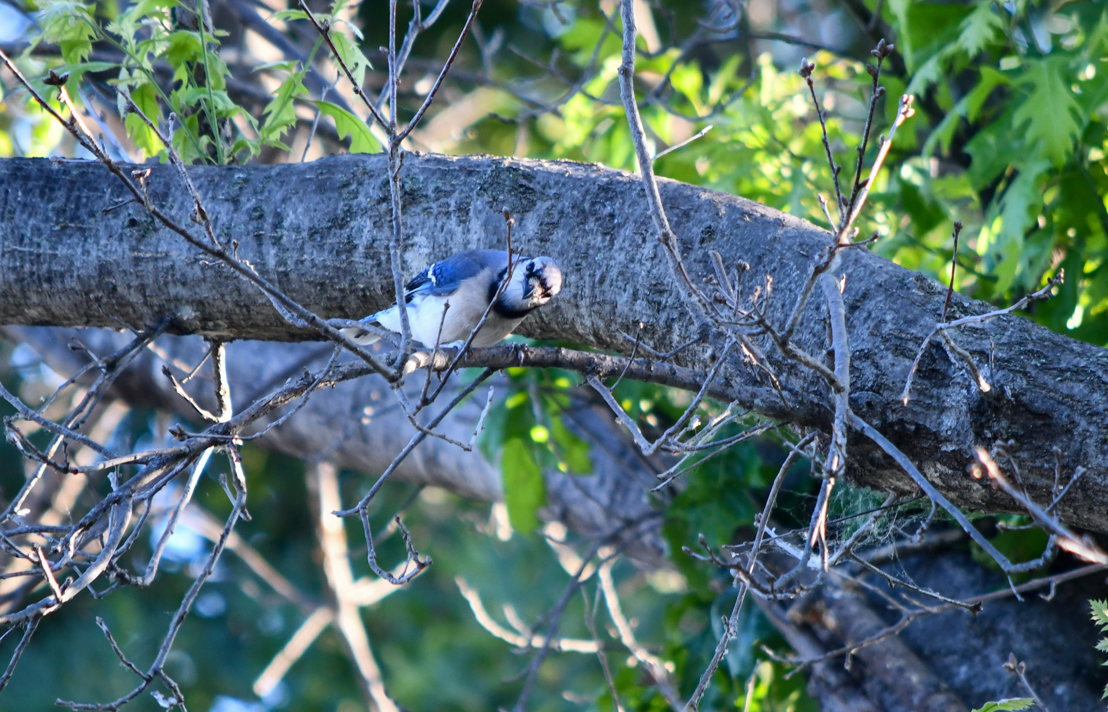 This bluejay had just startled a hawk in the tree next door. Now, he's just trying to peek at me from arounda  twig.